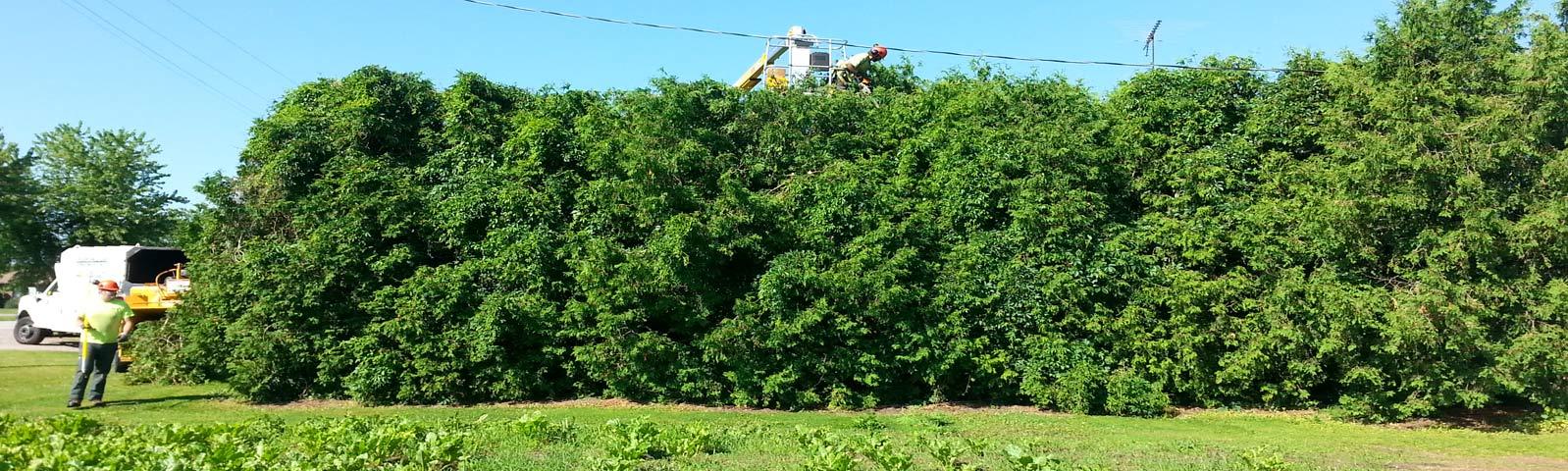 shrub-hedge-trimming.jpg